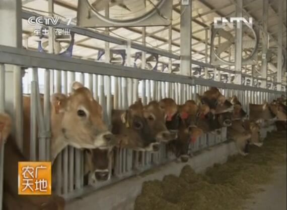 奶牛优良品种介绍