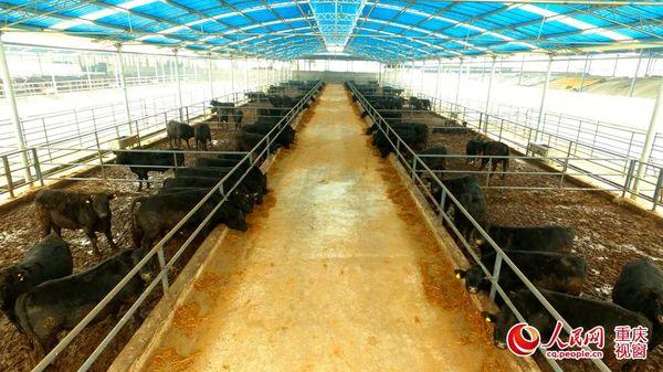 """重庆:肉牛""""杠杆""""拗动8万贫困户走上致富路"""