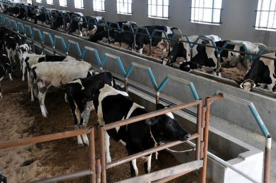 法媒称中国大型奶牛场威胁生态:牛粪堆积如山