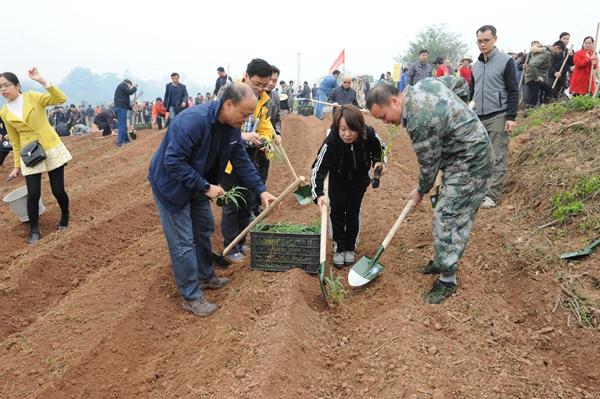 宁明县干部群众在明江沿岸种植牧草