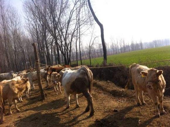 驻马店:大力培育夏南牛和生态羊两大品牌