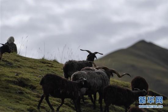 """青海:""""高原黑珍珠""""助牧民增收"""