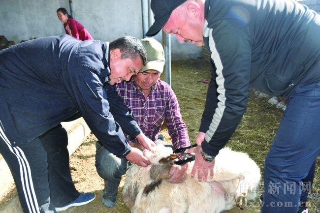 新疆伊犁牧业村村民喜领扶贫羊