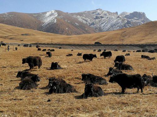 中国牦牛暨柴达木福牛产业发展大会在德令哈召开