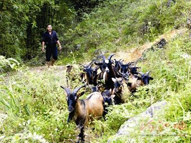 广西大化:养殖七百弄山羊增收致富