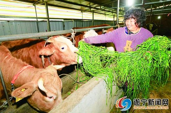 四川射洪县:肉牛养殖 带动贫困户走上了产业发展致富路
