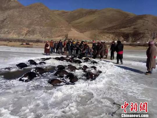 青海180头牦牛过冰河致坍塌 死亡107头