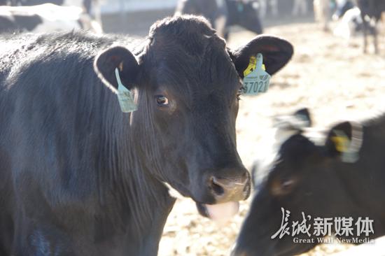 2793头澳大利亚安格斯种牛顺利登陆河北黄骅港