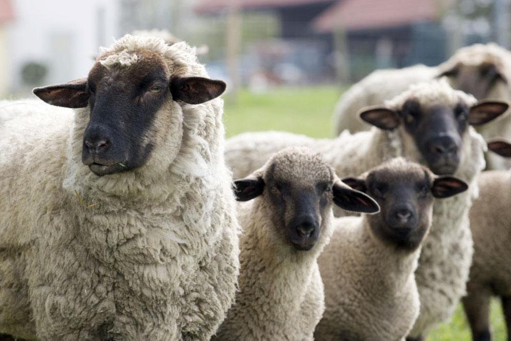 山西首次引进国外优质种羊品种东弗里生种绵羊