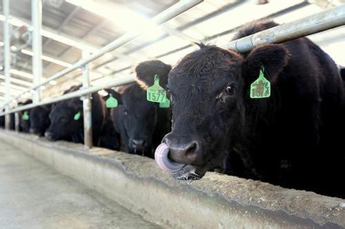 贵州铜仁德江:发展肉牛产业开启脱贫新征程