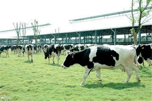 投资4.75万亿越盾 越南富安省动工兴建奶牛场