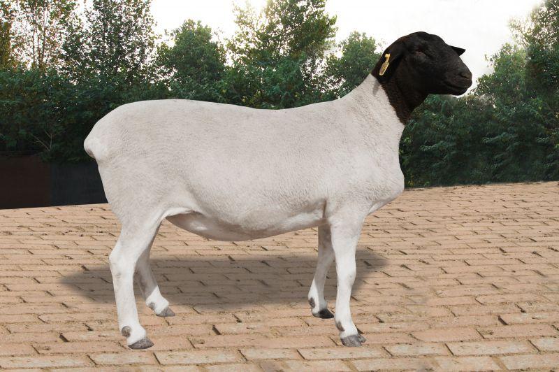 羊族又添新成员 鲁西黑头羊通过农业部审定