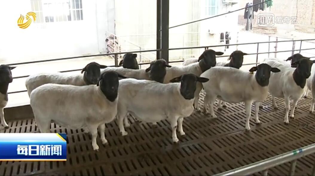 羊族又添新成员!鲁西黑头羊通过农业部审定
