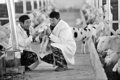"""安徽省亳州市谯城区精心呵护""""扶贫羊"""""""