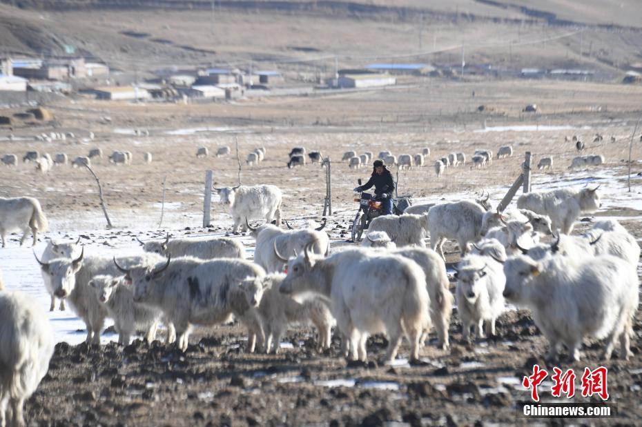 甘肃天祝两代人守护中国白牦牛核心种群