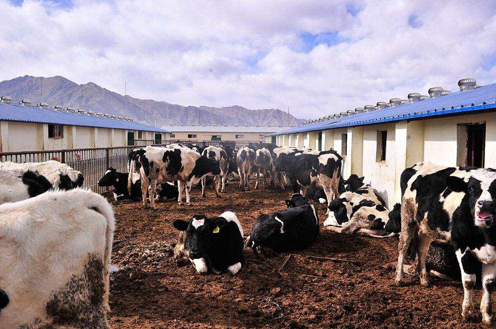 拉萨城关区高标准奶牛养殖中心 海拔最高现代牧场