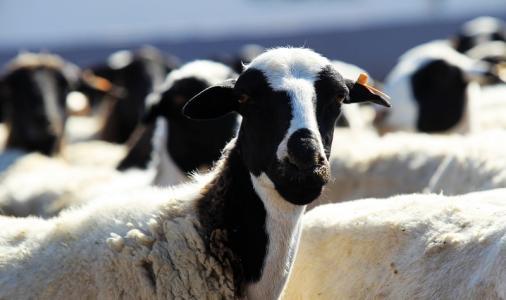 """乌兰察布市化德县一企业被评为国家级""""肉羊标"""