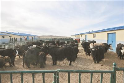 青海:牦牛产业支撑脱贫绿色发展