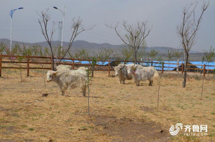 2000公里长途跋涉 青藏高原10头白牦牛入潍