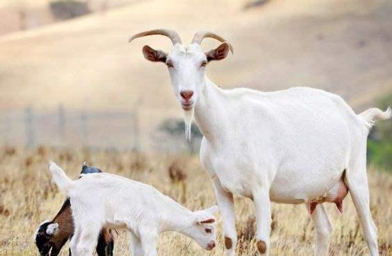 陕西羊乳制品年产销量增幅连续7年超20%