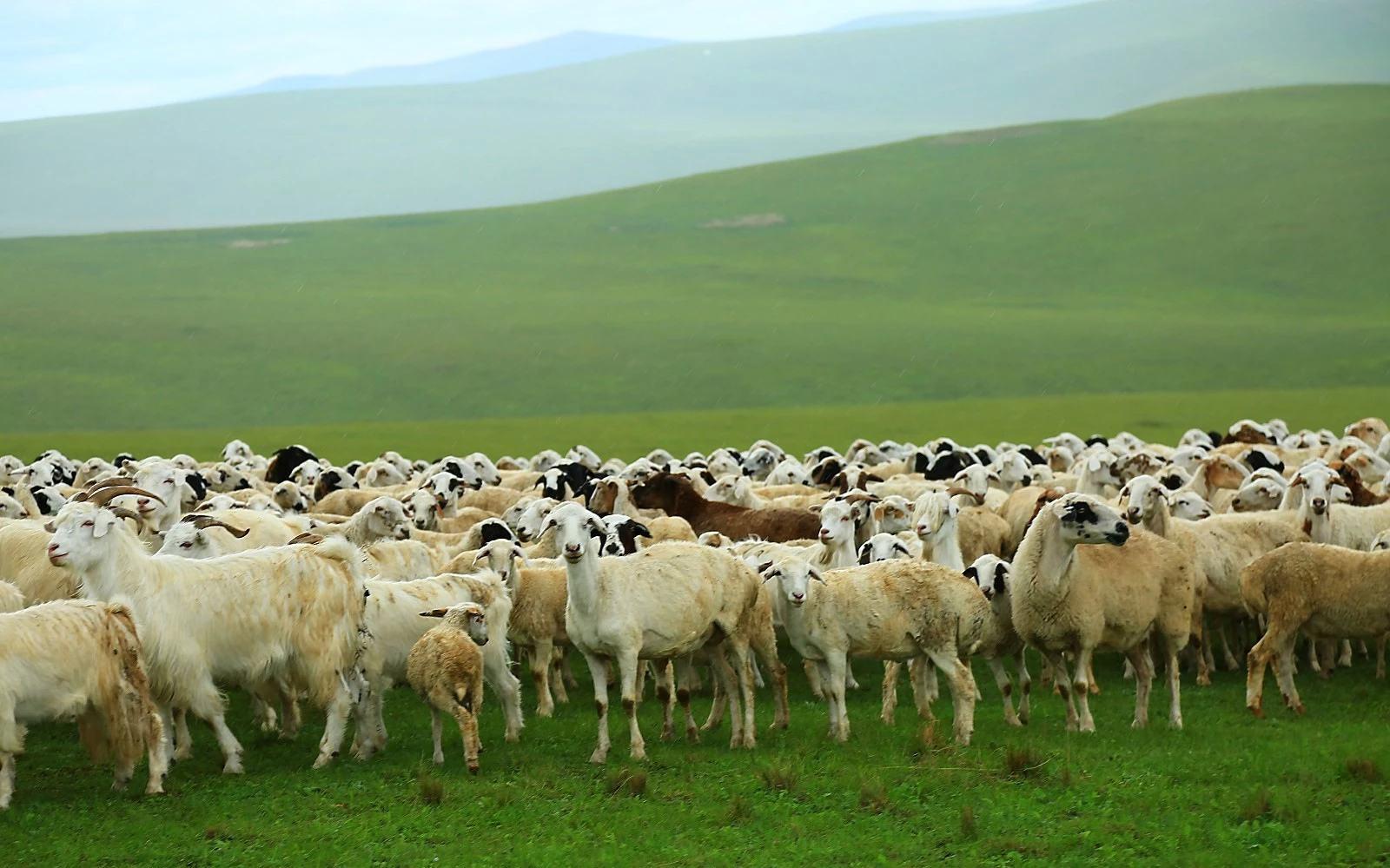 干旱影响内蒙古畜牧业 牛羊提早出栏市场迎波动