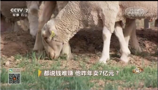 [致富经]内蒙古谭军:都说养羊钱难赚 他咋年卖7