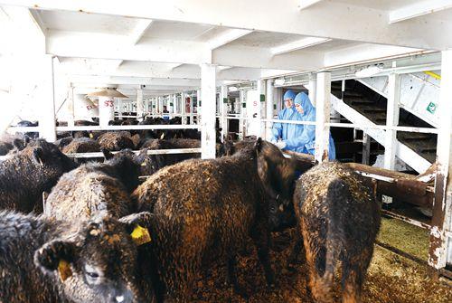 天津:6518头澳大利亚种用肉牛奶牛抵达天津港