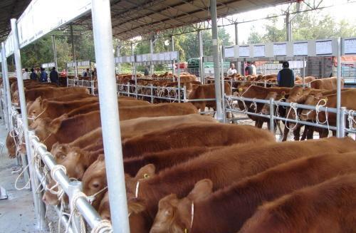 湖北襄阳万头肉牛养殖项目落地生根