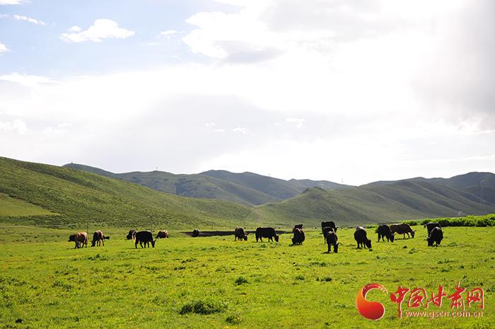 甘南合作:用牦牛和草场入股 合作社让牧民摇身变