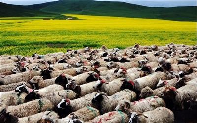 海南:牧民被骗279只绵羊 贵南警方5小时追回
