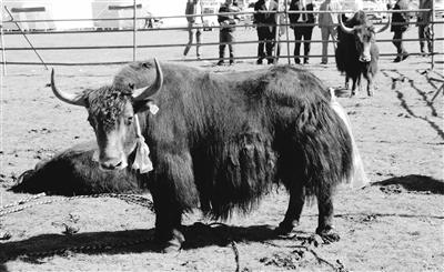 青海:玉树州举办第五届优良种公牛评比会 暨牦牛