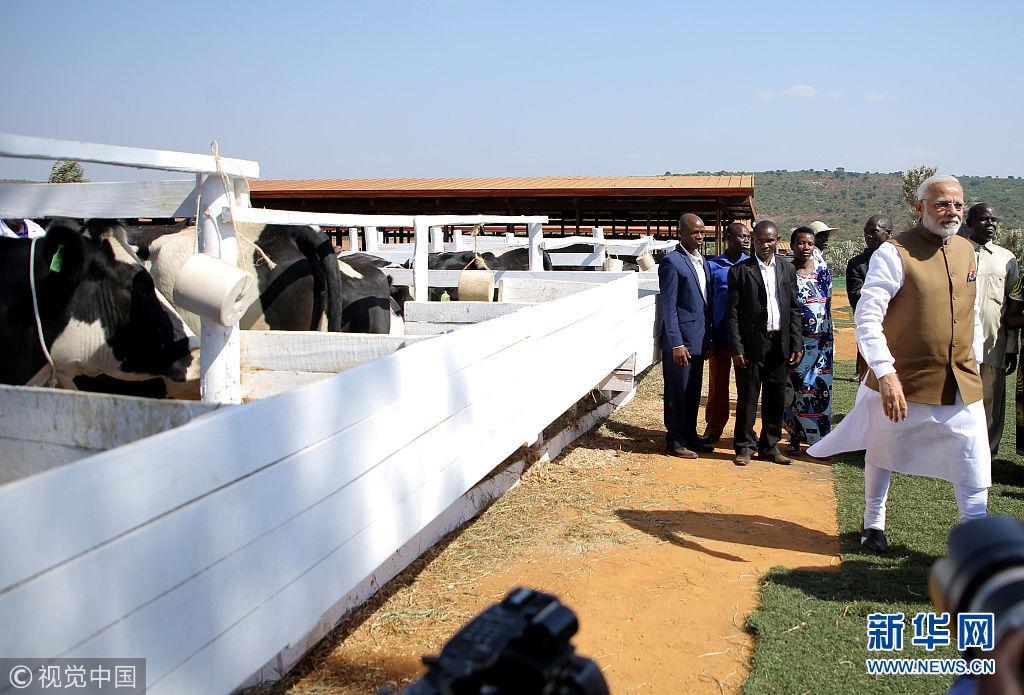印总理莫迪访问卢旺达 赠送200头奶牛当礼物(图)