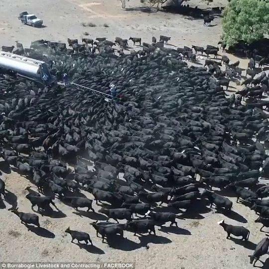 1300头奶牛疯狂抢水喝 澳大利亚遭遇罕见干旱