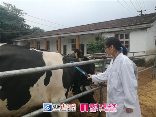 广西柳州700头奶牛有了电子身份证 将在养殖业推
