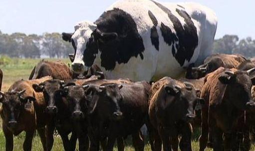 澳洲奶牛重达1.4吨,高1.94米几同乔丹相当