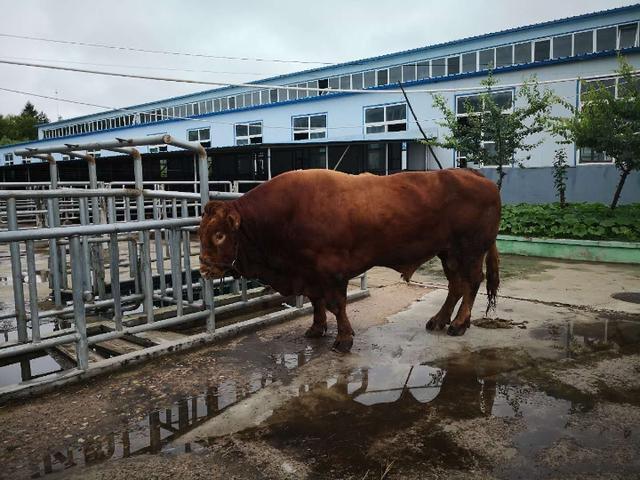 """中国打造""""超级肉牛"""""""