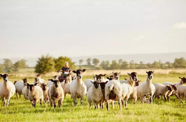 相关分析认为:近三年养殖肉羊的前景还算可观!