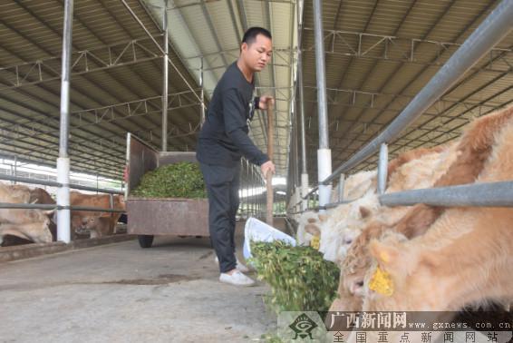 广西防城肉牛养殖基地发挥扶贫大作用