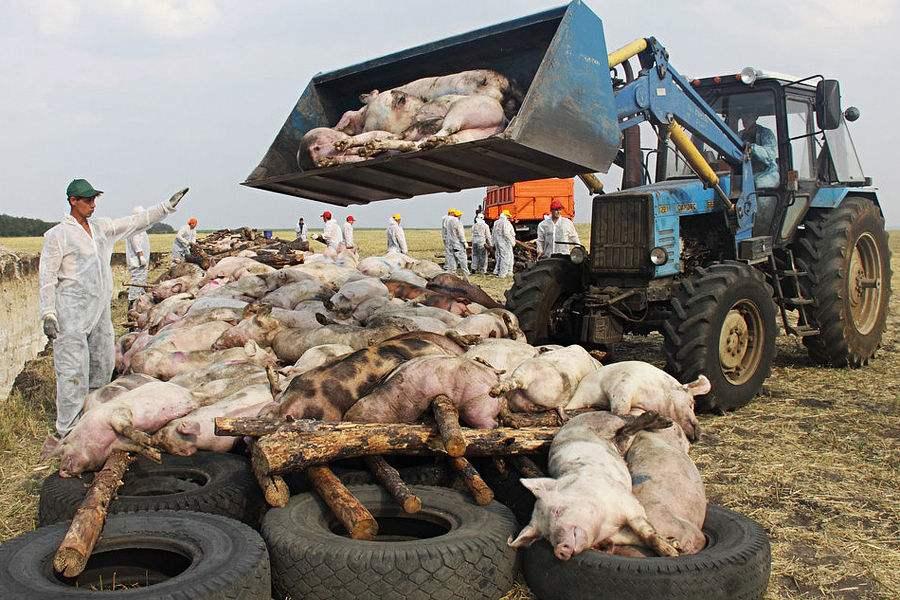 非洲猪瘟疫情难控,养头牛如何?或者养只羊……