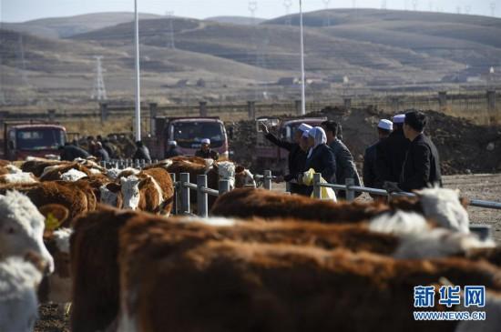 宁夏海原:养牛走向致富路