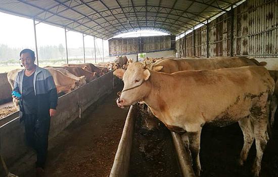 河南今年将新增优质肉牛20万头 完成粮改饲100万