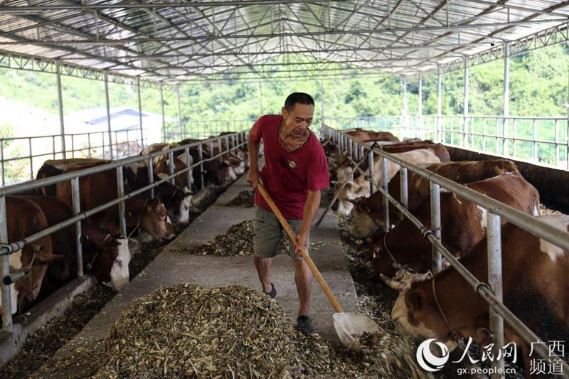 广西巴马:发展肉牛产业 助力脱贫攻坚